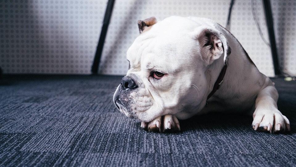 chien à l'hôtel